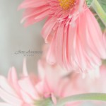 Pretty Pink Gerbera Flower